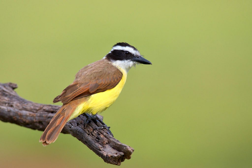 Great Kiskadee on Branch in Rio Grande Valley, Texa; Birdwatching; CQ Integrative Health & Wellness Center Visiting Patients