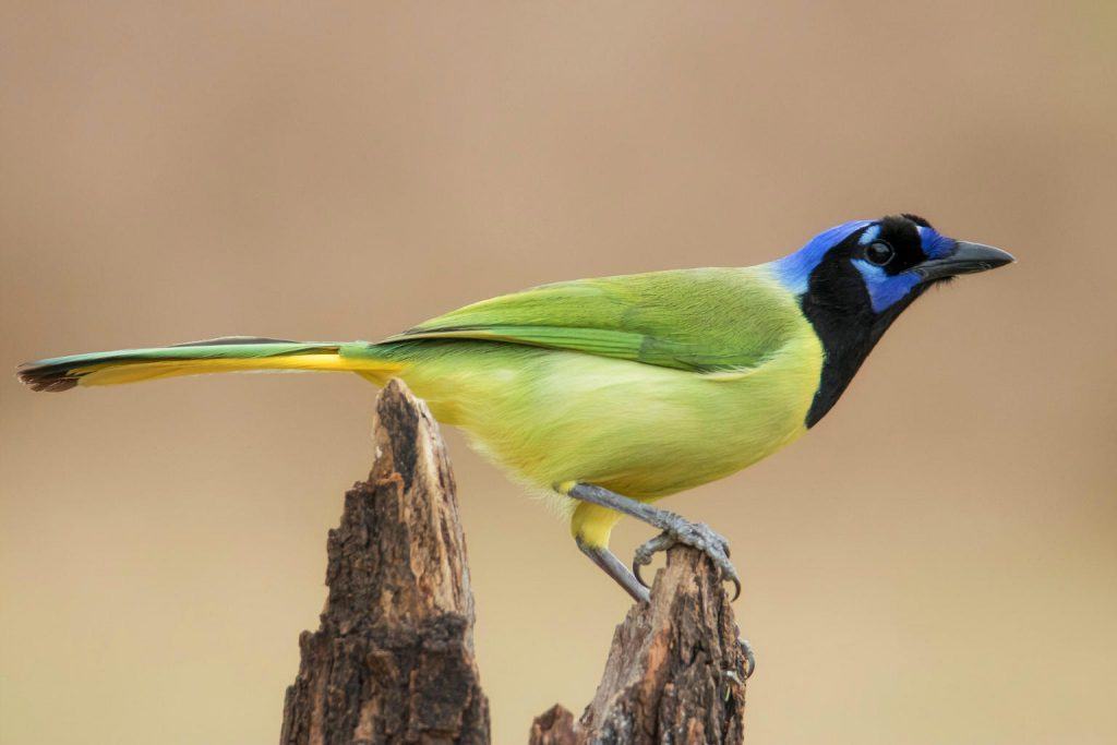 Green Jay Rio Grande Valley; Birdwatching; CQ Integrative Health & Wellness Center Visitors