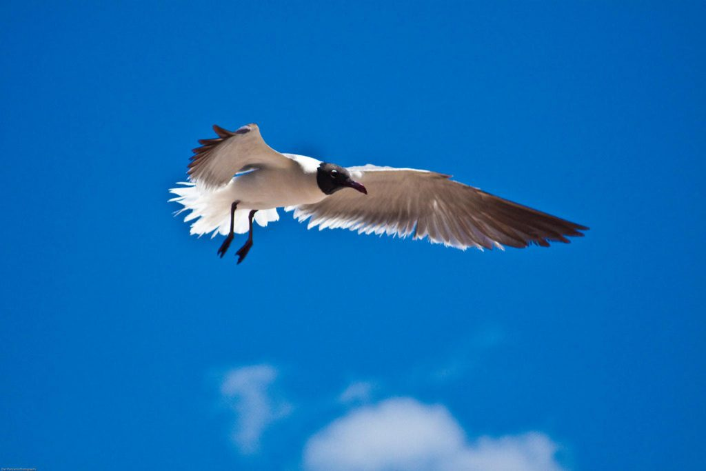Laughing Gull Mid-flight at South Padre Island; CQ Integrative Health Visitors Bird Watching